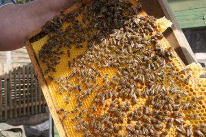 Totgesagte leben länger: Um den Zustand der Bienenvölker ranken sich viele moderne Mythen.